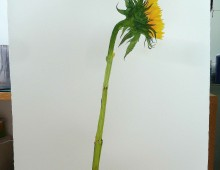 Flower study (Sunflower)5
